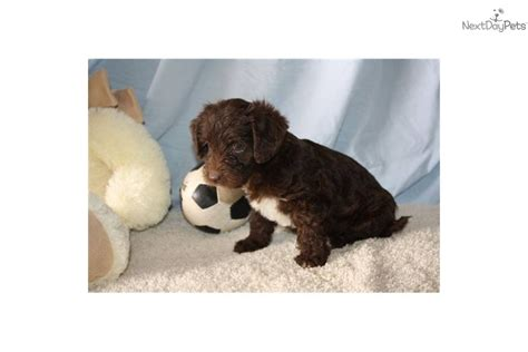 chocolate yorkie poo teacup yorkie poo puppies for sale in ohio teacup poodles for breeds picture