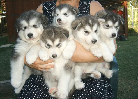 husky malamute puppies alaskan malamute on alaskan malamute husky and huskies puppies