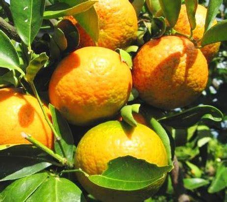 Bibit Tanaman Buah Jeruk Tongheng Kondisi Berbuah tanaman jeruk keprok frimong bibitbunga