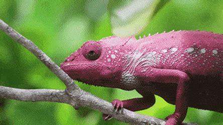 cameleon changing colors chameleon changing color find make gfycat gifs