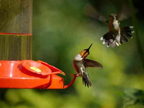 top 28 do hummingbirds fight rufous hummingbirds