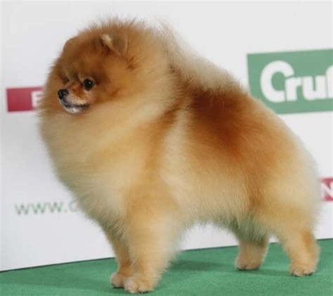 show pomeranian colin o donoghue pomeranians and birmingham on