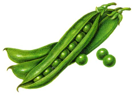 peas clipart pea clipart peapod pencil and in color pea clipart peapod