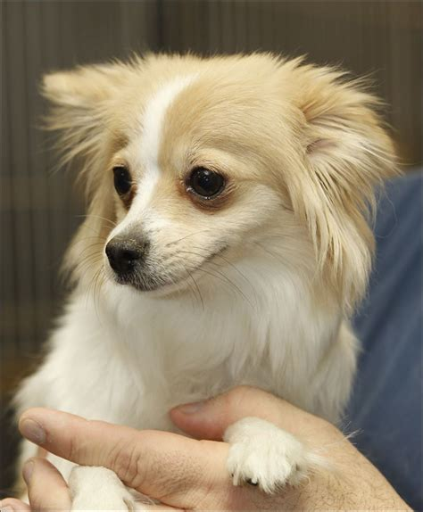 puppies rescue papillon mix dogs