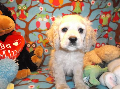 websites to buy puppies find puppy stolen from oxford pet store portland press herald