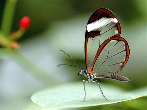 imagenes mariposas de cristal memecio la mariposa de cristal