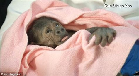 difficulty breathing after c section baby gorilla born by a rare c section at the san diego zoo