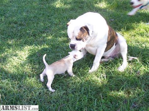 johnson american bulldog puppies for sale armslist for sale american bulldog puppies