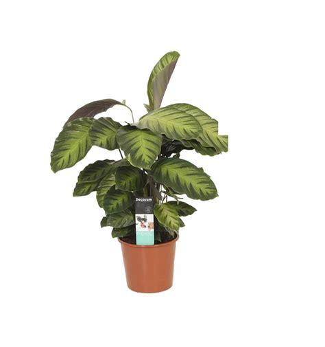 Plante Purificatrice D Air by Calathea Misto Et Purificatrice D Air Florastore