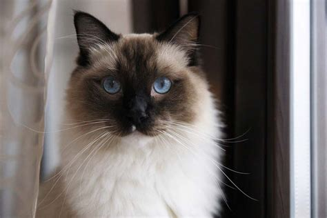 ragdoll information what should ragdoll cats eat