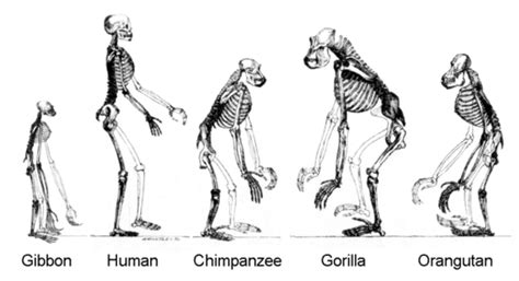 chimpanzees and human evolution books ape