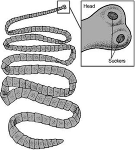can tapeworms be from to pork tapeworms evolution of the muscular system