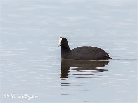 Knobbed Coot by Knobbed Coot