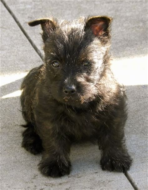 cairn puppies cairn terrier breed information and pictures