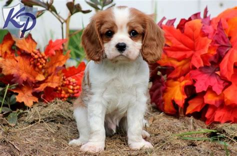 spaniel puppies pa 1000 images about king charles spaniel on spaniels cavy and pets
