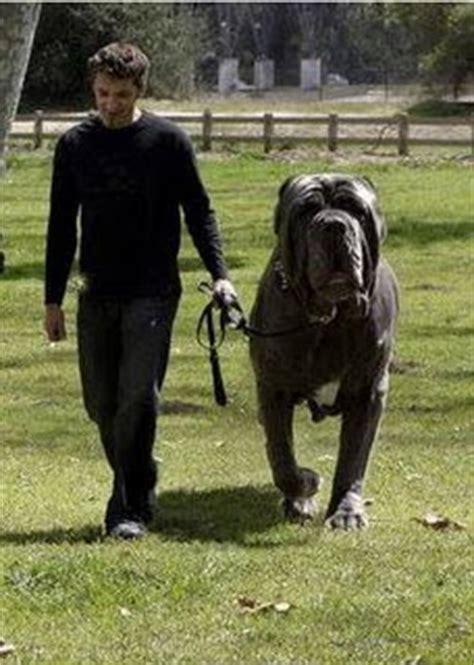 anjing raksasa terbesar  dunia zona publix