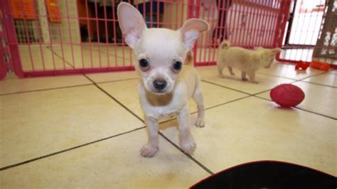puppies for sale in ga huggable white hair chihuahua puppies for sale in atlanta ga at