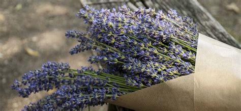 Lavendel Schneiden Und Trocknen by Lavendel Schneiden