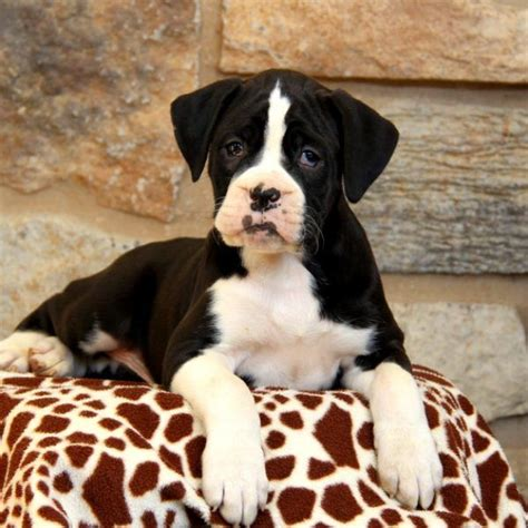 buy boxer puppy 17 best ideas about puppies for sale on teacup dogs teacup puppies and