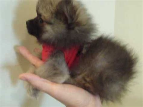 teacup pomeranian for sale sydney teacup pomeranian puppies for sale sydney