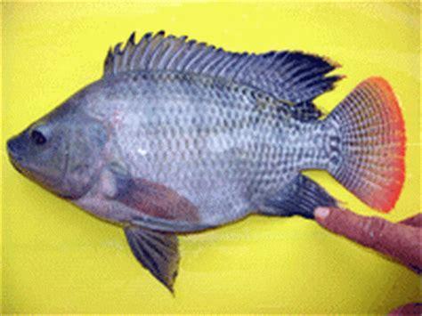 Ikan Nila Kecil ikan nila budidaya ikan ikan hias resep ikan