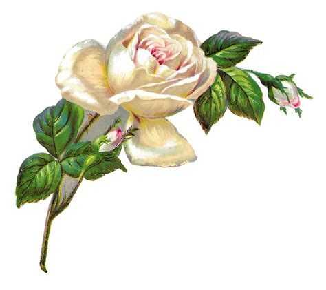 antique images white rose shabby chic flower image clip