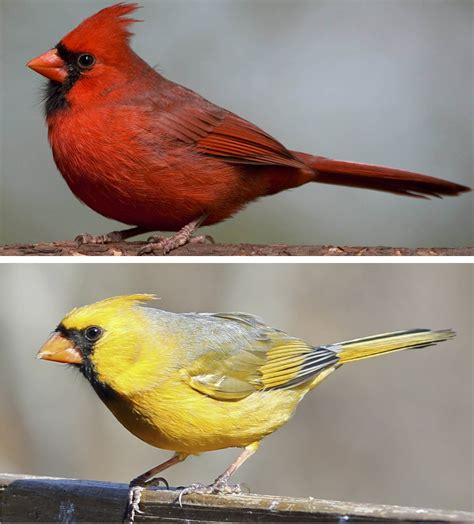 what color is cardinal how birds turn