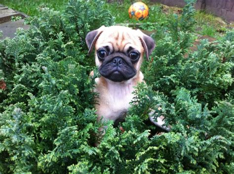 pug 4 sale pug puppies for sale uk breeds picture