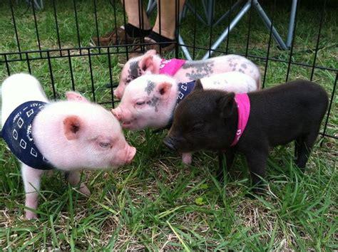 grown teacup pin teacup pigs grown on