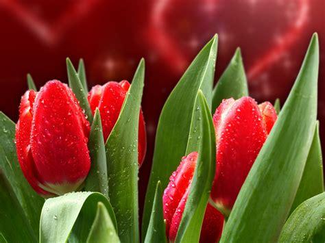 imagenes para fondo de pantalla de tulipanes fondo de pantalla tulipanes rojos hd