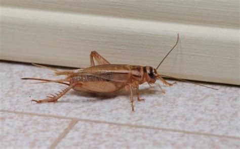 house cricket nashville home pest control middle tennessee