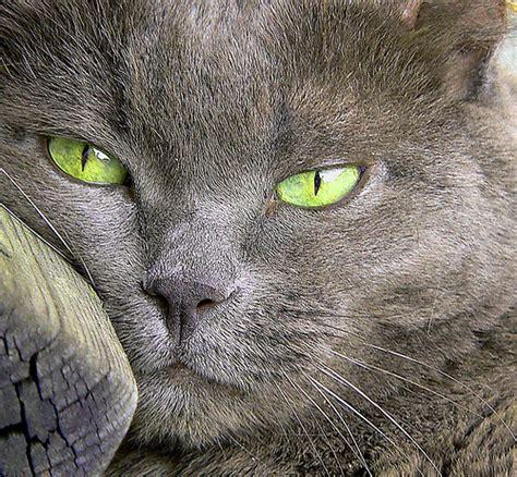 descrizione soggettiva di un giardino il gatto certosino dituttounpo