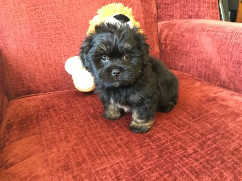 poodle shih tzu mix poodle yorkie shih tzu mix www imgkid the image kid has it