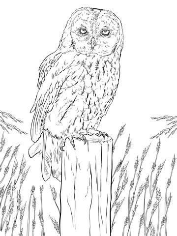 barred owl coloring page barred owl coloring page coloring pages