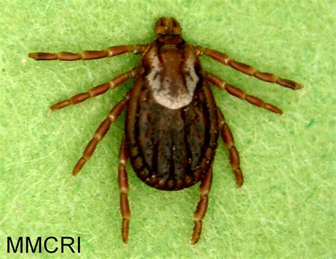 american tick diseases american tick umaine cooperative extension insect pests ticks and plant