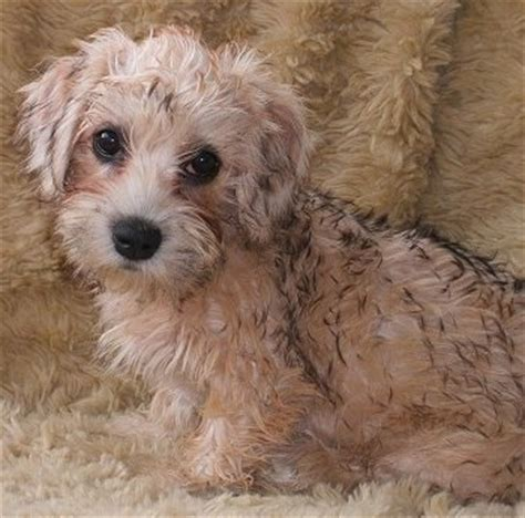 dandie dinmont terrier puppies dandie dinmont terrier breed information and pictures