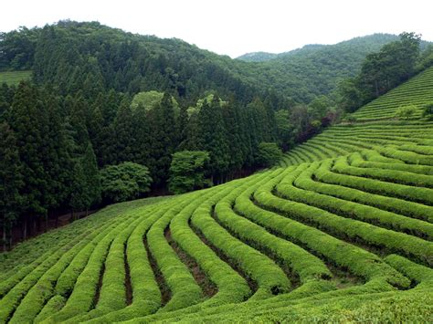 Teh Longjing longjing tea fields rice field in china thousand wonders