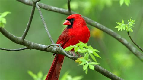 northern cardinal bird wallpaper wallpapers9