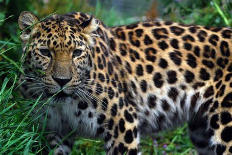 the leopard biodiversitywarriors amur leopard