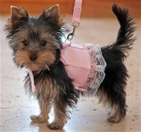 yorkie dressed up yorkie puppies on yorkie puppy clothes and yorkies