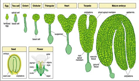 pattern formation in plant embryogenesis exe