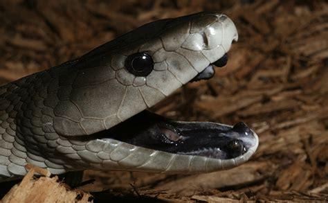 black mamba amazing black mamba snake black mamba facts photos
