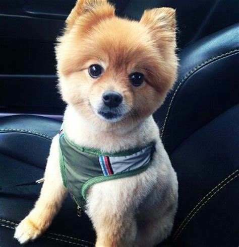 summer haircut pomeranian 17 best images about macho haircuts on pinterest cutest
