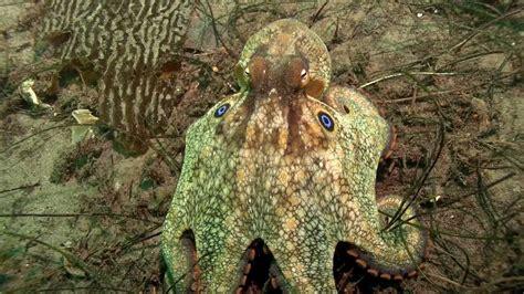 California 2 In1 octopus bimaculoides