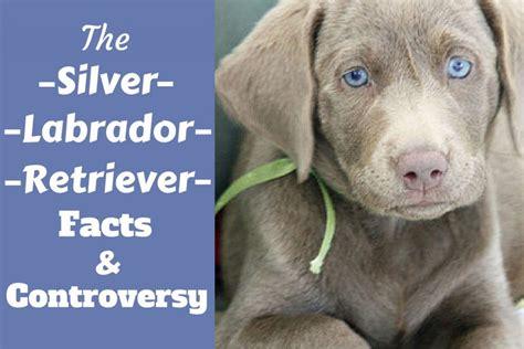 labrador colors silver labrador retriever facts about silver labs you