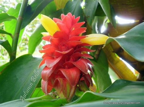 most common tropical houseplants scientific name costus barbatus common name spiral towe family