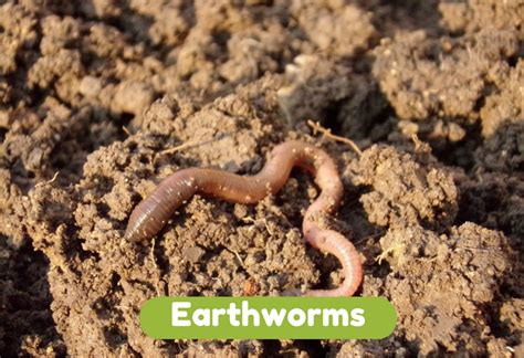 top 28 where can i buy earthworms for my garden discusting tomato worms in my garden