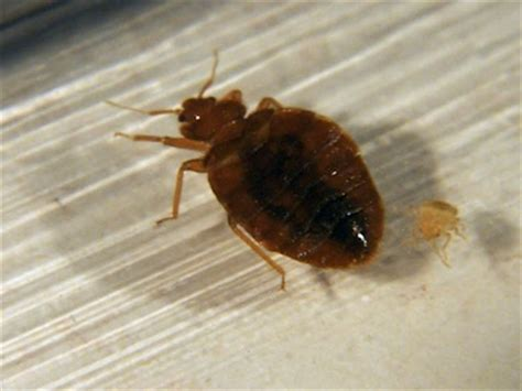 bed bug size pictures to pin on pinsdaddy