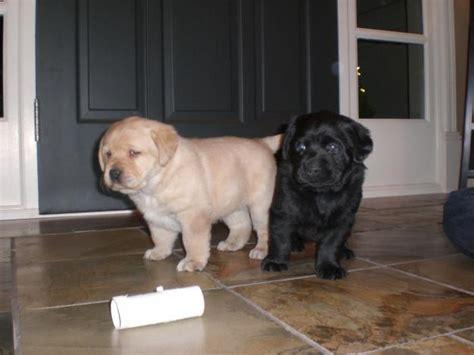 labrador retriever puppies price labrador retriever puppies for sale prashant 1 13540 dogs for sale price of