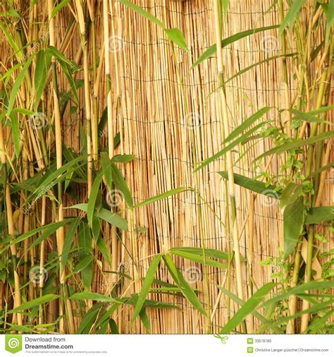 fresh ornamental bamboo with a bamboo fence stock photo image 33578780